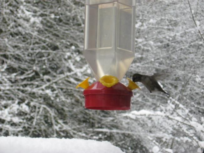 Hummbird in the snow Duncan, British Columbia Canada