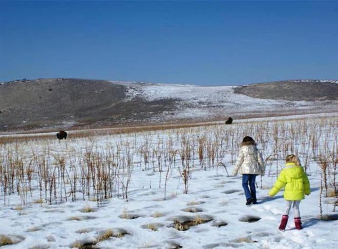 wild buffalos Salt Lake City, Utah United States