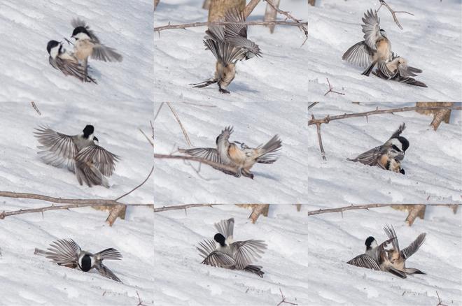 Battling Chickadees Singhampton, Ontario Canada