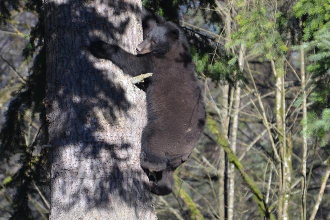 bearly able Maple Ridge, British Columbia Canada