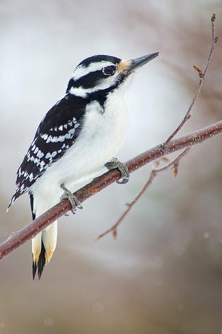 Downy Woodpecker Thornbury, Ontario Canada