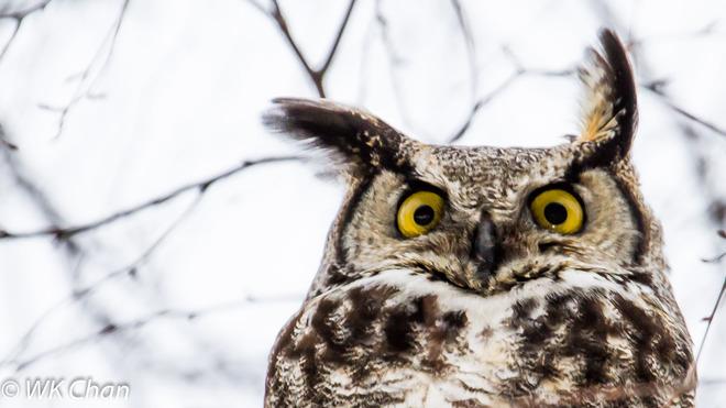Great-horned Owl Toronto, Ontario Canada
