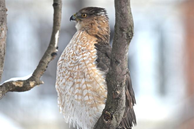 Hawk Oakville, Ontario Canada