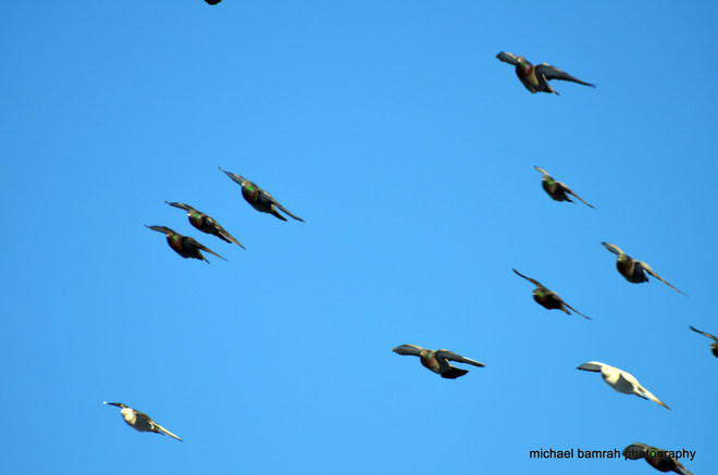flying in formation! Brooklin, Ontario Canada