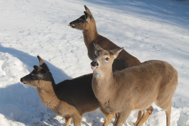 mom and baby deers Dundas, New Brunswick Canada
