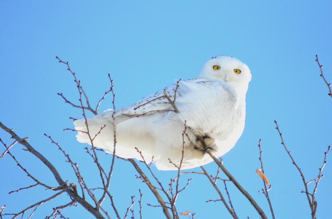 snowy owl Peterborough, Ontario Canada