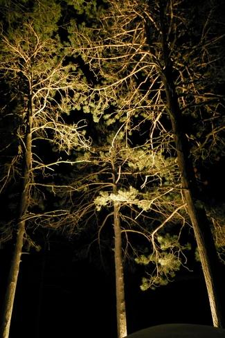 Red Pines Illuminated Minden Hills, Ontario Canada