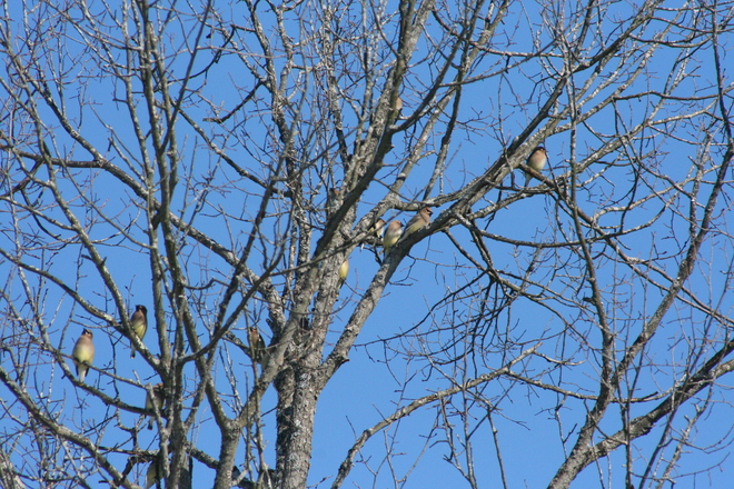 Cedar Waxwings Campbellford/Seymour, Ontario Canada