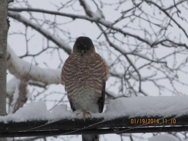Hawk sizing up the bird feeder Grand Falls-Windsor, Newfoundland and Labrador Canada