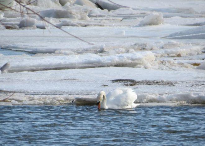 Swans in Snow - 2 Collingwood, Ontario Canada