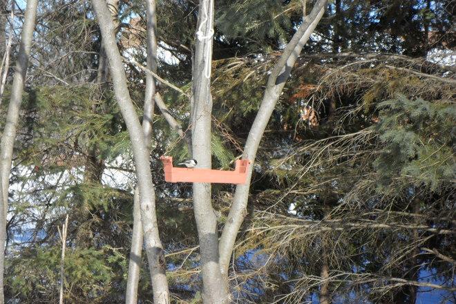 Black Capped Chickadee Long Sault 12, Ontario Canada