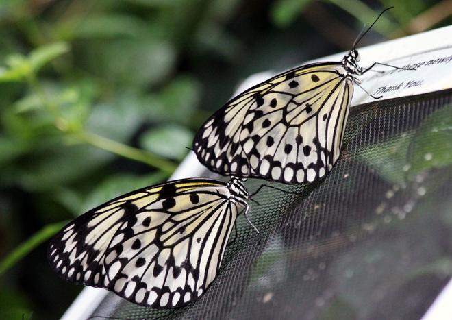 BEAUTIFUL BUTTERFLIES Victoria, British Columbia Canada
