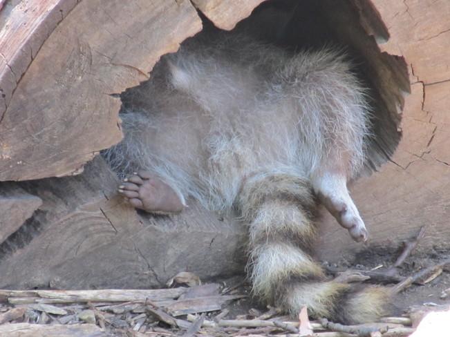 The Slumbering Raccoon Rigaud, Quebec Canada