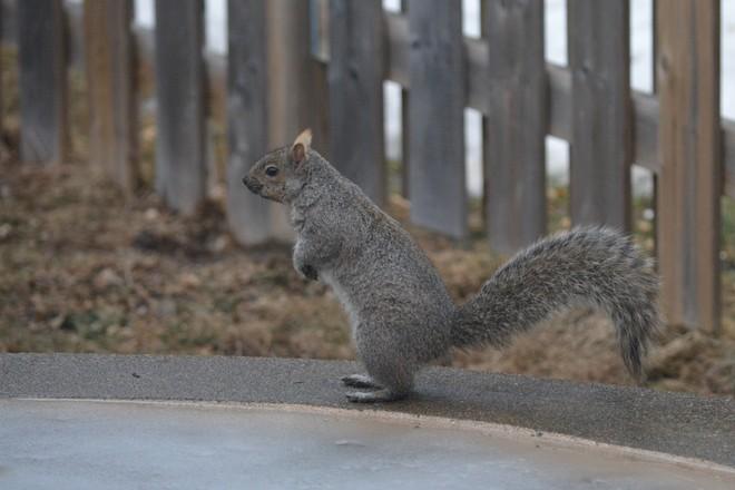 Grey Squirrel! St. Catharines, Ontario Canada