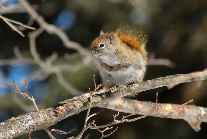Red Squirrel Kingston, Ontario Canada
