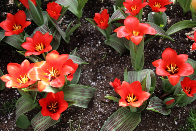 Tulips. Toronto, Ontario Canada