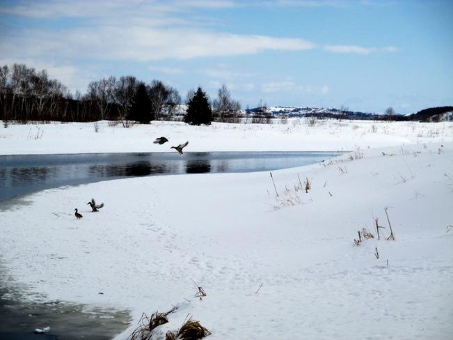 Mallards Lively, Ontario Canada