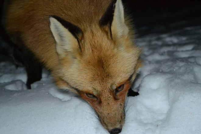 Fox Head Shot At Night Charlton, Ontario Canada