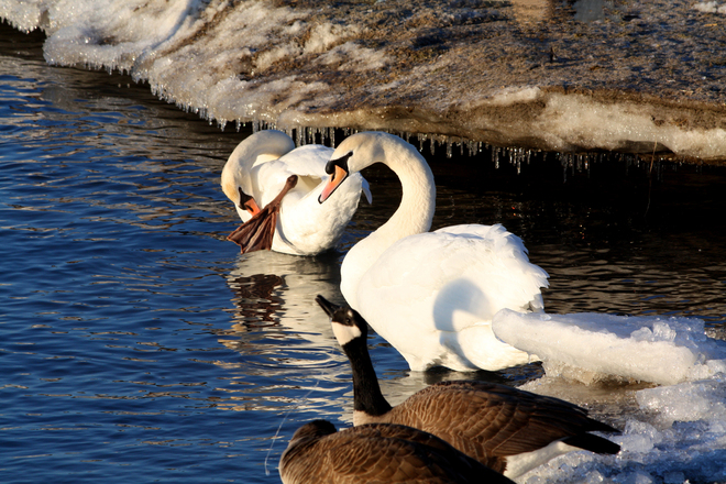 Dribbling Goose Cobourg, Ontario Canada