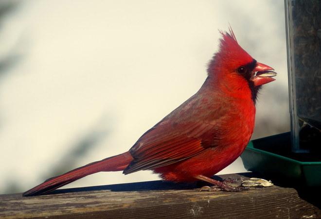 Cardinal Hastings, Ontario Canada