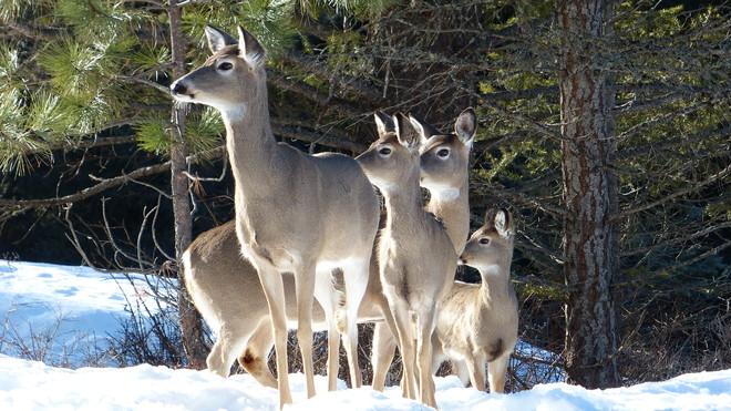 Deer staring Grand Forks, British Columbia Canada