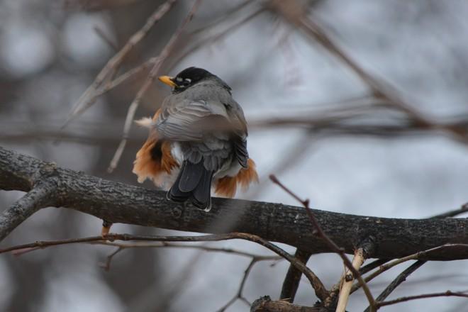 Robin! St. Catharines, Ontario Canada
