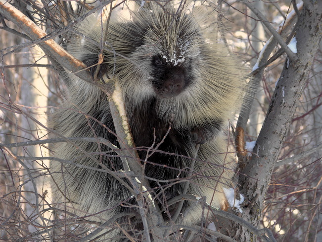 Englebert The Porcupine Sherwood Park, Alberta Canada