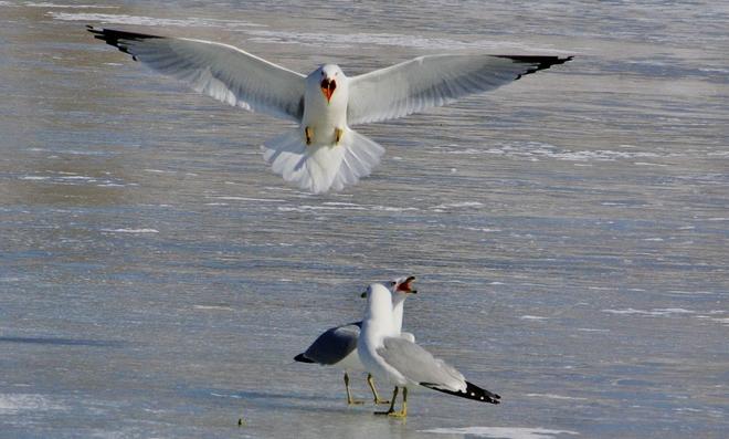 on frozen pond Scarborough, Ontario Canada