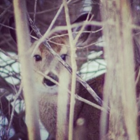 beautiful deer Woodstock, Ontario Canada