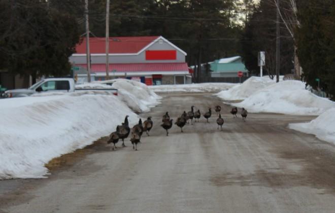 Turkeys on Parade! Sauble Beach South, Ontario Canada
