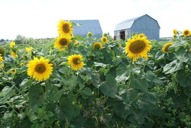 Sunflower Bloom Moncton, New Brunswick Canada