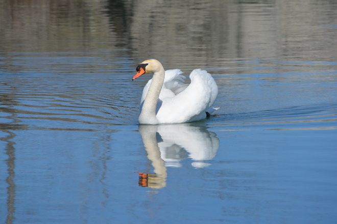 Mute Swan! St. Catharines, Ontario Canada