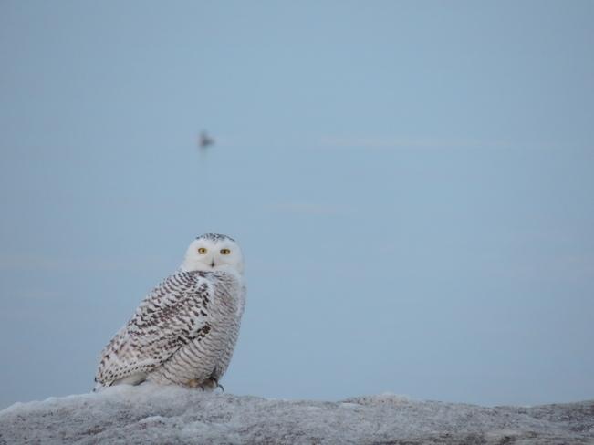 Snowy Owl Toronto, Ontario Canada