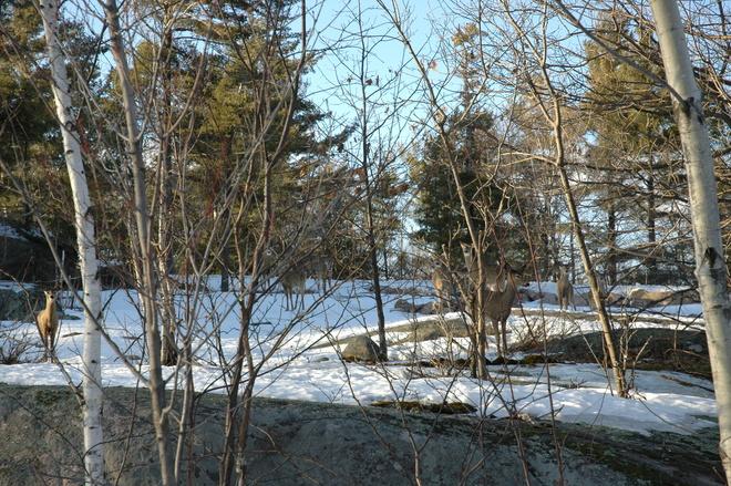 9 deer Parry Sound, Ontario Canada