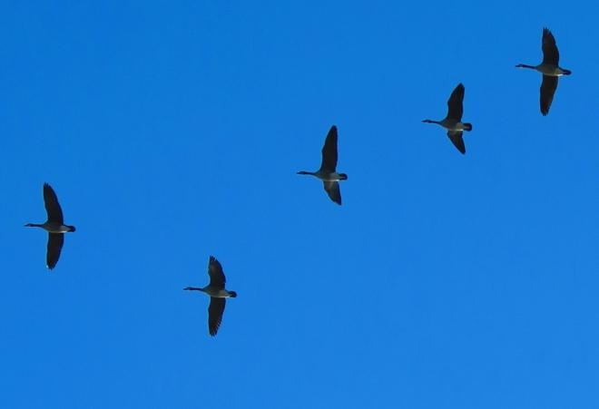 Geese Innisfil, Ontario Canada