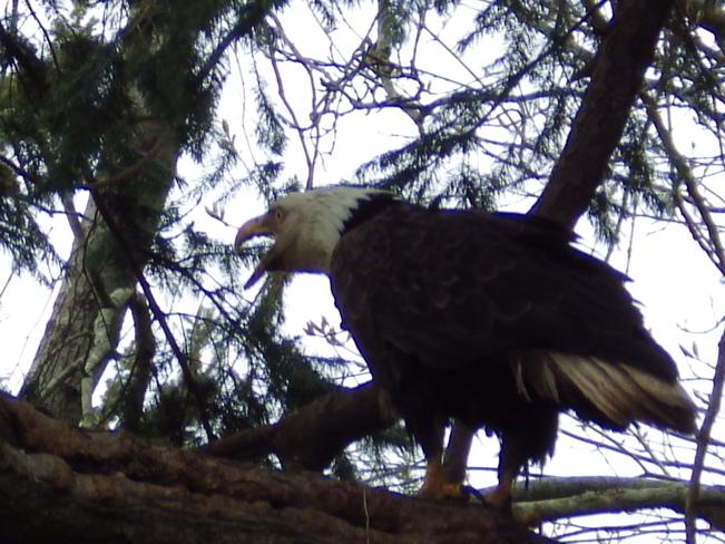 Bold Eagle Comox Valley, British Columbia Canada
