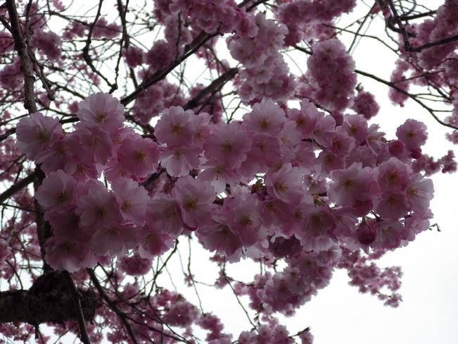 cherry blossoms Comox Valley, British Columbia Canada