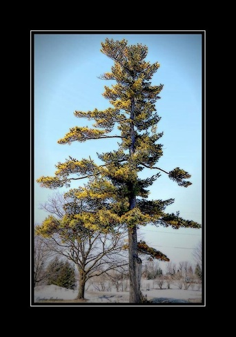hug a tree day. Pierrefonds, Quebec Canada