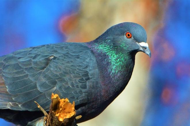 Rock Pigeon Calgary, Alberta Canada