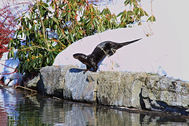 River Otter St. John's, Newfoundland and Labrador Canada