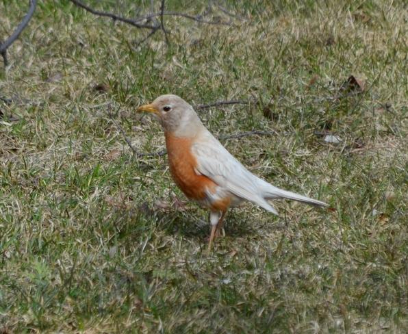 white robin Bowmanville, Ontario Canada