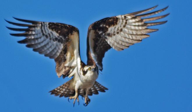 Osprey Take Off Kitchener, Ontario Canada