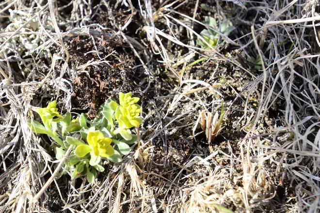 First Flower. Brooks, Alberta Canada