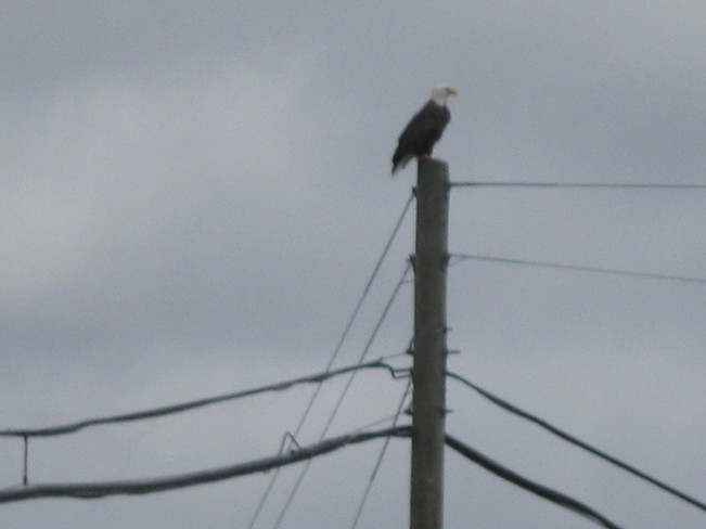 Eagle over Spaniard's Bay