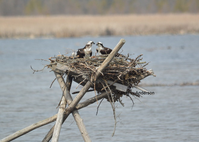 Osprey pair Lindsay, Ontario Canada