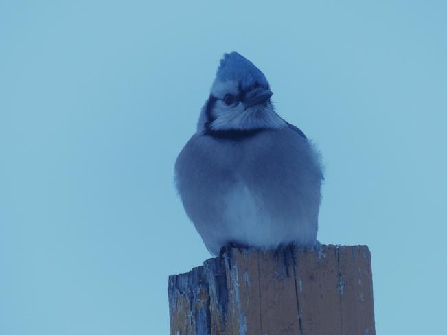 oiseaux La Sarre, Quebec Canada
