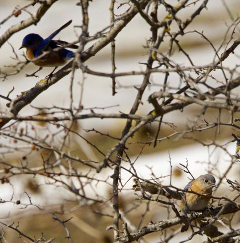Dancing Eastern Bluebird Elmira, Ontario Canada