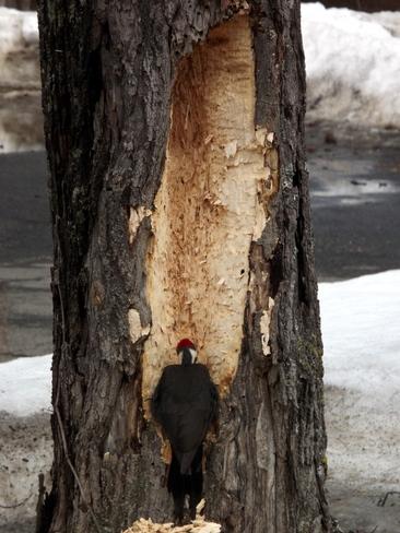 picky woodpecker Woodstock, New Brunswick Canada