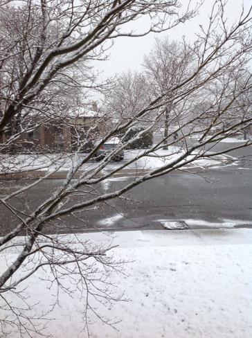 Snow on Japanes Maple Tree Hamilton, Ontario Canada