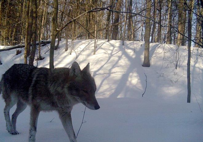 Trail Cam Coyote Tillsonburg, Ontario Canada